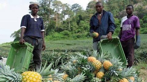 Workers collect pineapples at Georgefields Farms, a private plantation in southern Ghana. (Shashank Bengali/MCT)