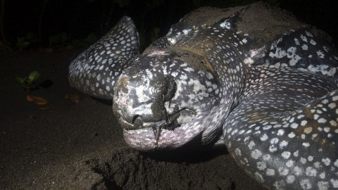 A leatherback turtle covers her eggs in a nest on Bioko Island in Equatorial Guinea on December 30, 2004. (gsb)