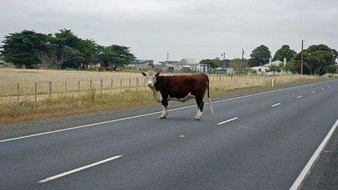 Cow in the middle of the road in South Australia. (Courtesy of daolphinsballoon/Flickr)