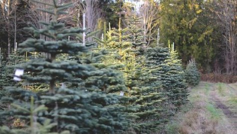 Christmas tree farmers discuss effects of New England drought on their harvest