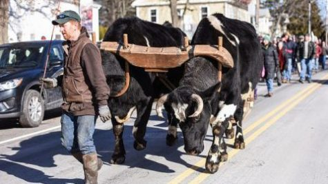 Oxen in the streets of Northampton