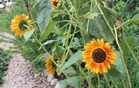 UMass study suggests sunflower pollen has the power to save bees from disease