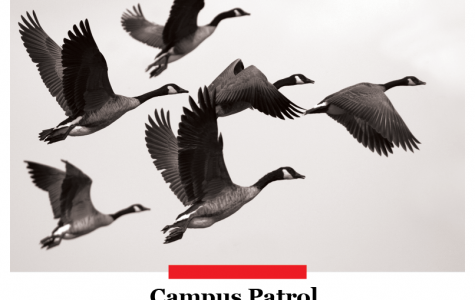 Morning Wood: Campus geese: Friend, foe or fighter