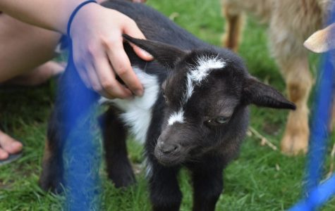 UMass students tasked with caring for baby goats